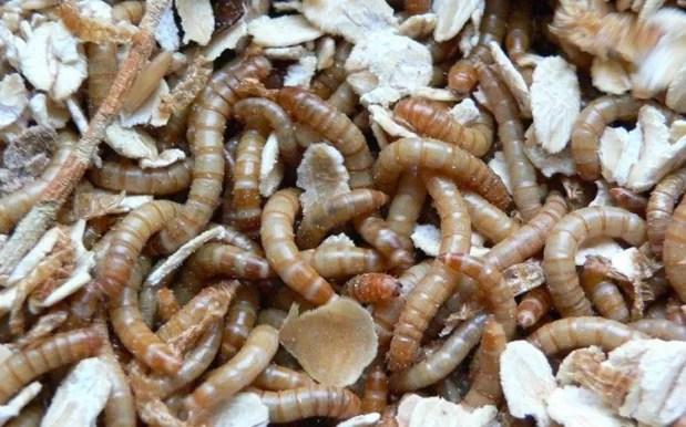 Un gusano, la clave para combatir la contaminación plástica