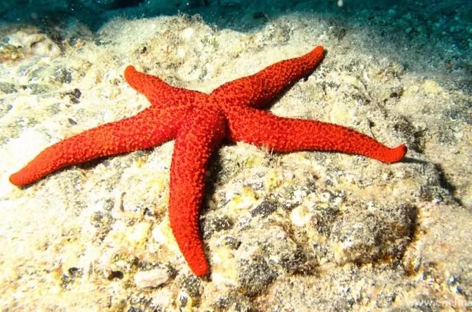 Las estrellas de mar están muriendo