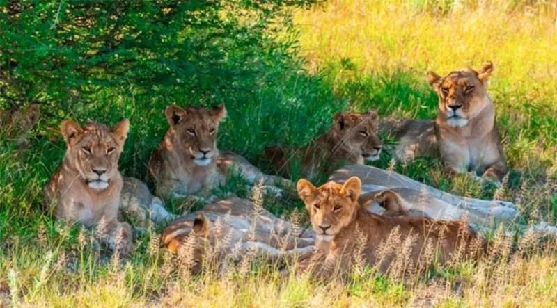 Envenenan a 8 leones de una reserva de Kenia
