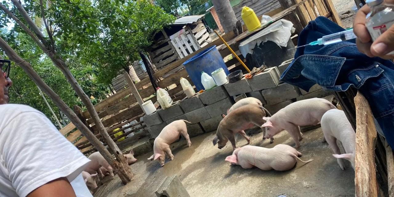 Brote de peste porcina en República Dominicana, advierte organismo sanitario