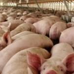 Gobierno invertirá RD$72 millones en productores que perdieron cerdos afectados por fiebre porcina