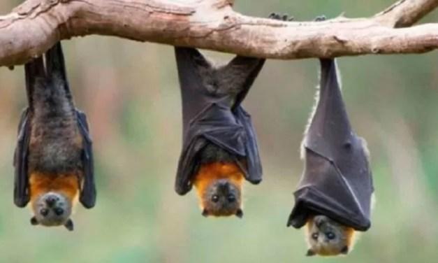 Científicos descubren un virus muy similar al del covid-19 en murciélagos de Laos