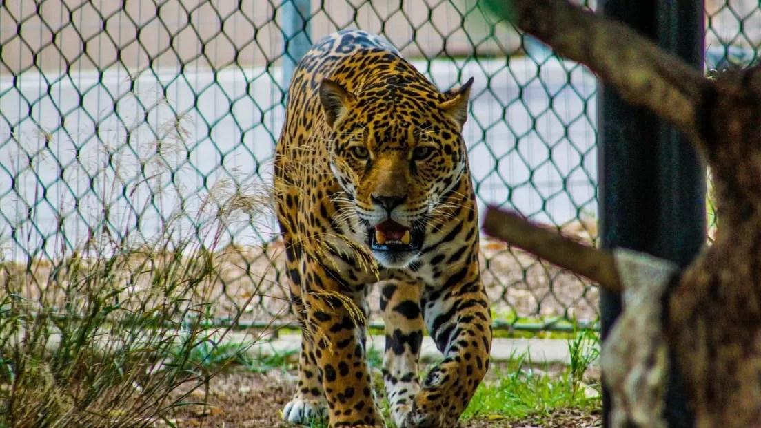 VIDEO: Una mujer se defiende con su bastón del ataque de un leopardo