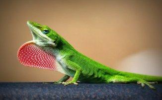 lagartija-verde-reptil-ly35