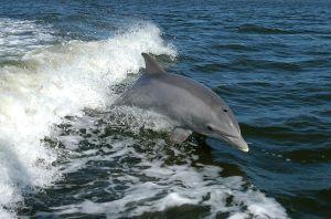 Wisata lumba-lumba Teluk Kiluan