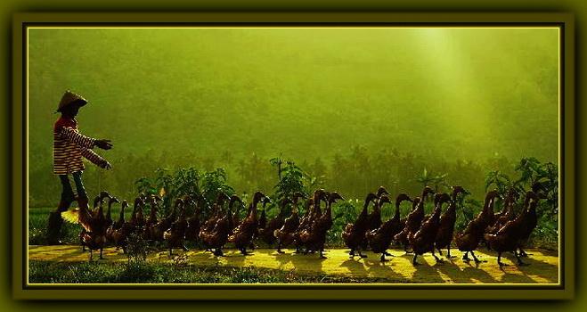 78 Gambar Angon Bebek