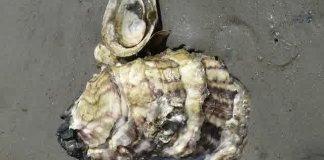 Oyster Shell - Cangkang Kerang