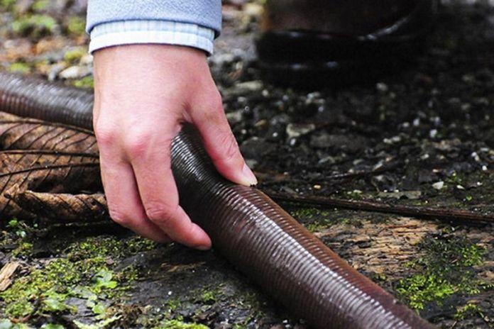 Giant Gippsland Earthworm, Cacing Tanah Raksasa di Australia