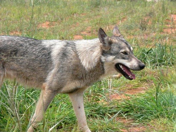 Anjing Terinfeksi Rabies