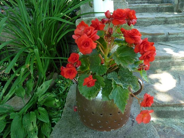 Tanaman hias - begonia