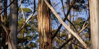 Kulit Pohon Kayu Putih Mengatasi Insomnia Secara Alami
