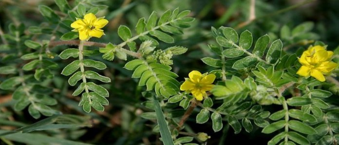 Tribulus Terrestris: Obat Herbal untuk Impotensi dan Kuat Perkasa