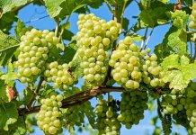 anggur indonesia