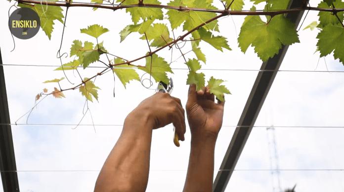 meratakan batang tersier anggur
