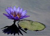 Water-Lilly