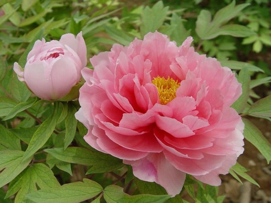 中国の花の名前や代表の種類は?贈る時の花言葉と通販のおすすめも