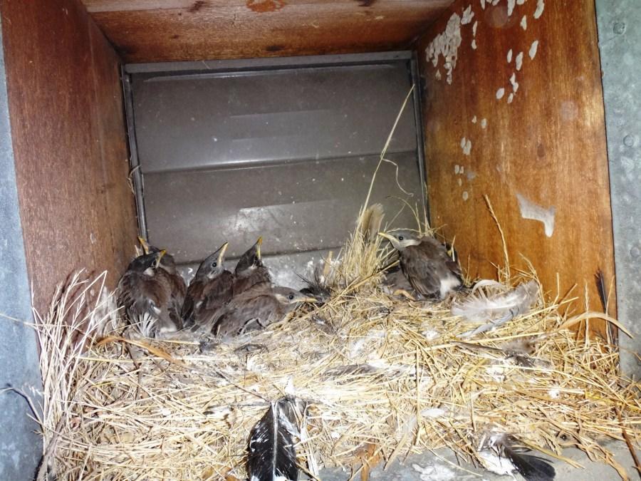 ムクドリの巣を撤去・駆除する方法!作られない対策、ダニに注意!