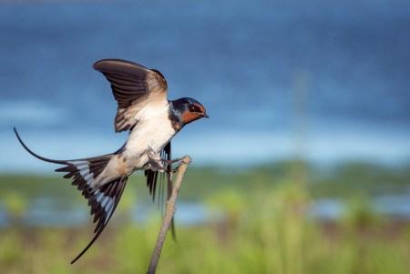 ツバメの寿命は何年?生態や同じ燕の夫婦が巣に戻ってくるの?