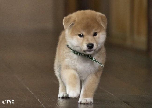 """小さな柴犬・豆助がBeauty of Japanをご紹介…「豆助のニッポンっていいな。」7月12日スタート!初回は""""加賀友禅""""。豆助のtwitterもお楽しみに!"""