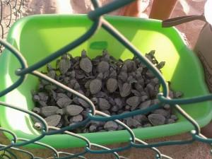 Tortugas Liberadas en Cabo San Lucas