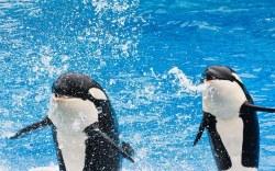 cancelan shows de orcas en seaworld
