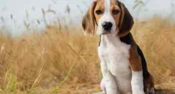 que raza de perros tiene mejor olfato, mejores razas de perros olfato, perros rastreadores, olfato de los perros distancia, capacidad olfativa del perro