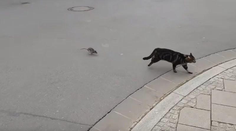 Un gato va a cazar una rata y termina huyendo del susto 🤣