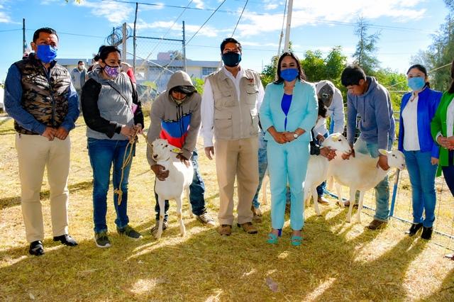ENTREGA LUPITA DANIEL, 300 CABEZAS DE GANADO OVINO EN BENEFICIO DE 100 FAMILIAS DE CUAUTLANCINGO