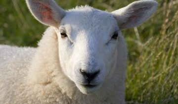 IoT sheep
