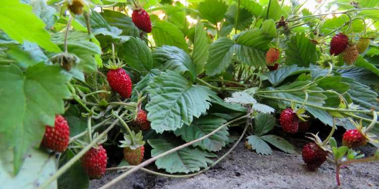 smart agriculture strawberry strawberries