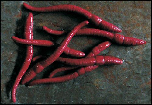 ET61S worms