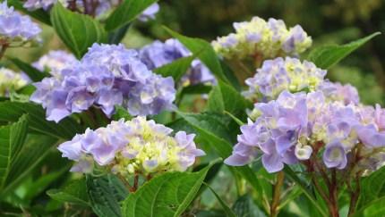 Endless Summer Hydrangea