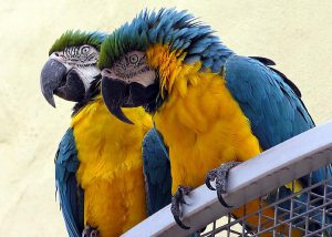 Blue and yellow macaws.