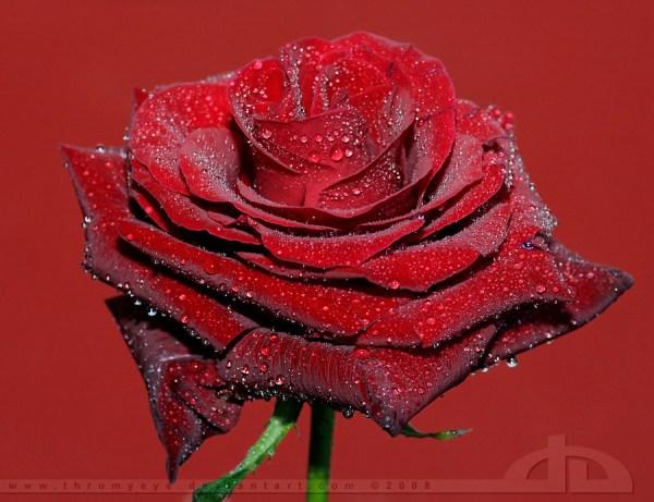 dark-velvet-rose