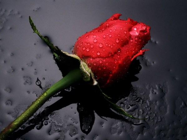 love-rose