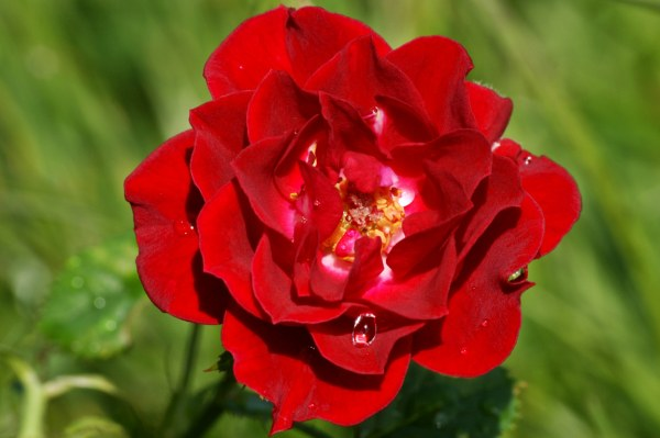 new-red-rose