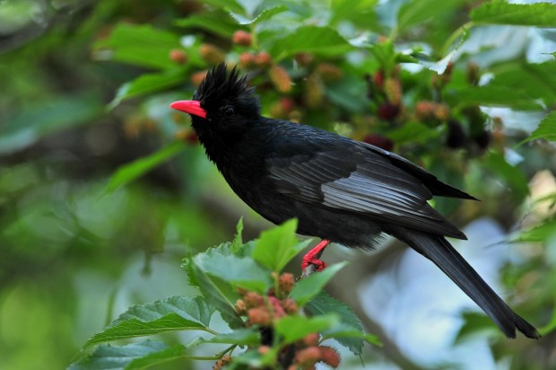 black and red color bird photo