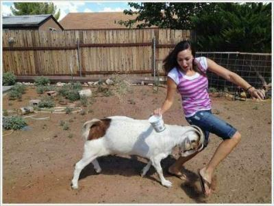 fighting funny goat picture