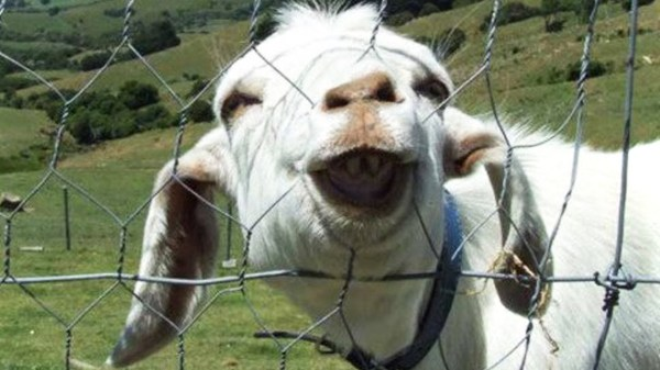 goat picture making funny faces