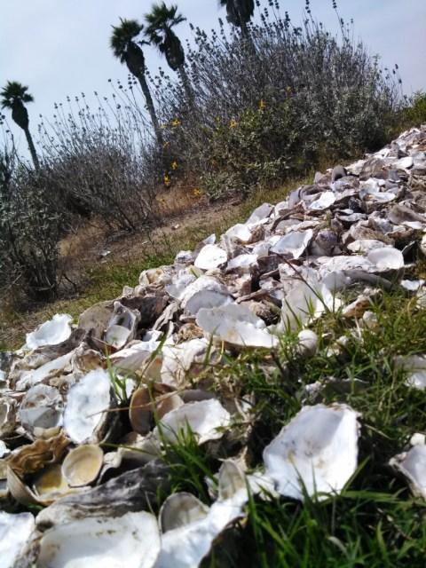 The shells make for an environmentally and aesthetically correct border.