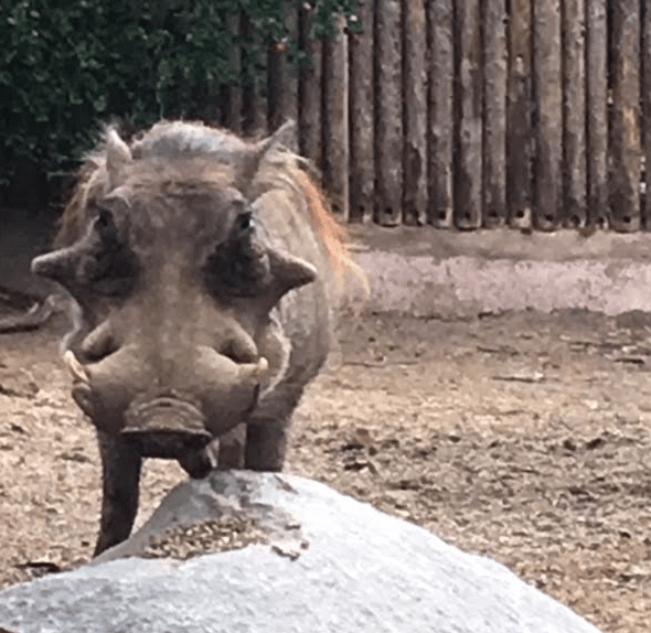 """When I was a young warthog...."""