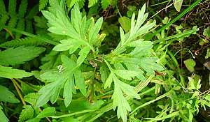 Resultado de imagen de artemisa vulgaris