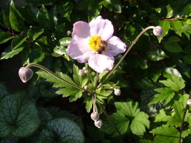 Anemone 'Hadspens Abundance'