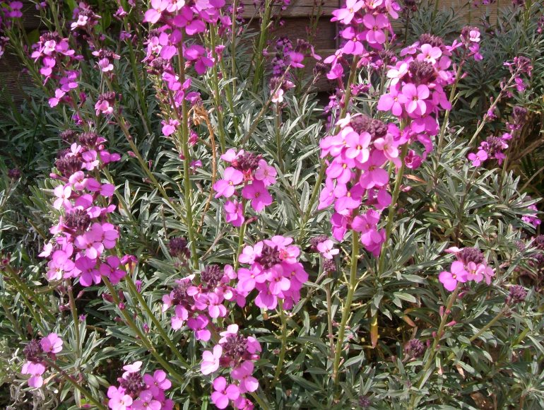 Erysimum 'EA Bowles' - always in flower; an absolute delight!