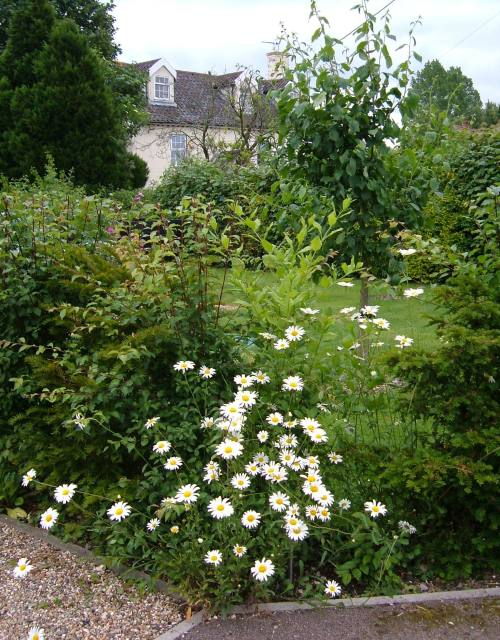 Ox-eye daisies in the hedge