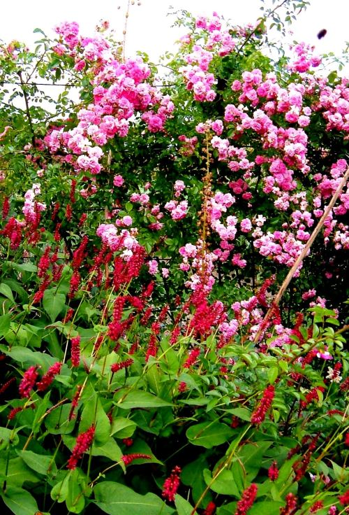 Persicaria and roses