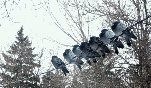Chilly pigeons