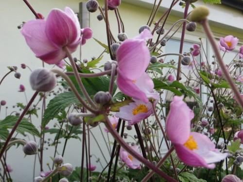Anenome 'Hadspens Abundance'