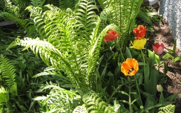 Tulips and new fern
