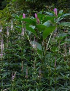Veronicastrum & Chinese Pokeweed